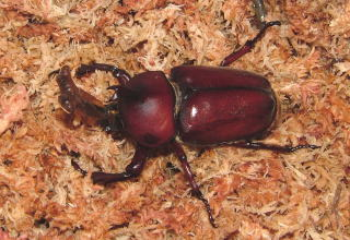 羽化 土の上 カブトムシ